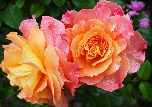 Les avantages des roses éternelles